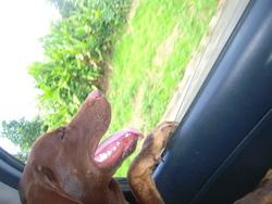 Pepito, chien Labrador Retriever