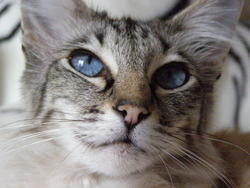 Praline, chat Balinais