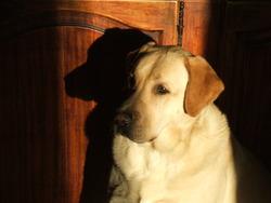 Tac, chien Labrador Retriever