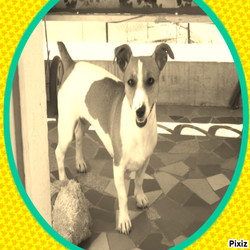 Canelle, chien Jack Russell Terrier