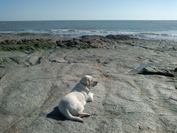 Vicking, chien Labrador Retriever