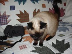 Chipou, chat Siamois