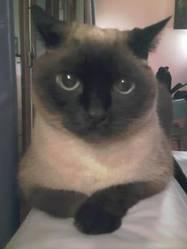 Boutchou, chat Siamois