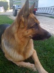Balto, chien Berger allemand