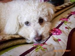 Linda, chien Bichon à poil frisé