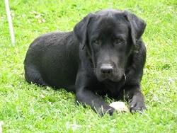 Mano, chien Labrador Retriever