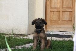 Fanette, chien Berger de Brie