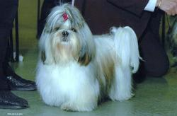 Very Lovely Body, chien Shih Tzu
