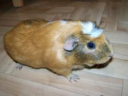 Punky, rongeur Cochon d'Inde
