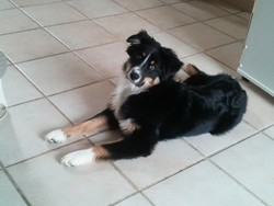 Fidji, chien Berger australien