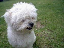 Wooki, chien Coton de Tuléar
