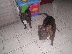 Easton, chien Staffordshire Bull Terrier