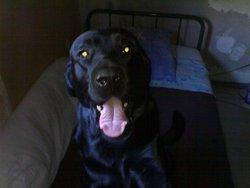 Léo, chien Labrador Retriever