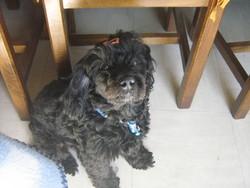 Roxy, chien Caniche