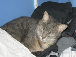 Shanga, chat Gouttière