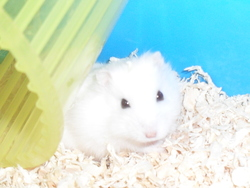 Bijou, rongeur Hamster