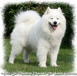 Thundery Thysonn, chien Samoyède