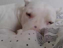 Vega, chien Dogue argentin