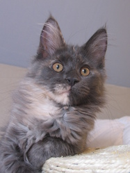 Lola, chat Maine Coon