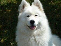 Adelie, chien Samoyède