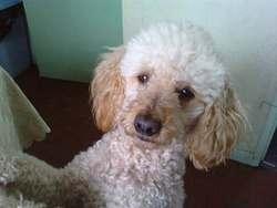 Titeuf, chien Caniche
