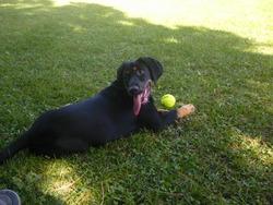 Kayla, chien