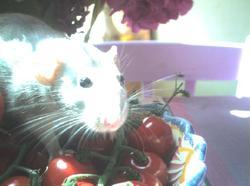 Sucrette, rongeur Rat