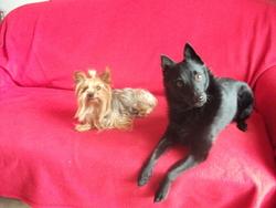 Vasco, chien Yorkshire Terrier
