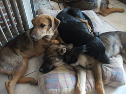 Nenette, Lady, Caline, chien Berger allemand