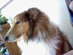 Wesley, chien Berger des Shetland