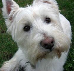 Polie, chien