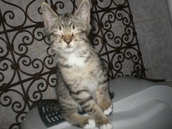 Tigrou, chat Bengal