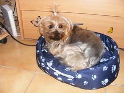 Baya, chien Yorkshire Terrier