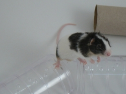 Twister, rongeur Souris