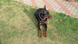 Max, chien Dobermann