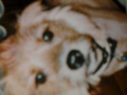 Mickey, chien Français blanc et orange