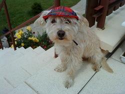 Dixy, chien Bichon bolonais