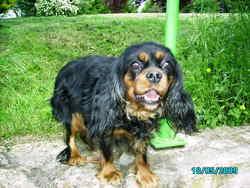 Verone, chien Cavalier King Charles Spaniel