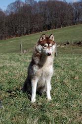 Laia, chien Husky sibérien
