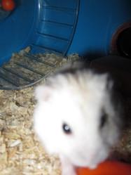 Azhalées, rongeur Hamster