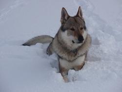 Ares, chien Chien-loup tchèque