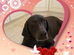 Tina, chien Braque allemand à poil court