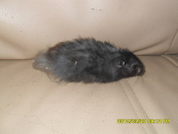 Duracell, rongeur Hamster