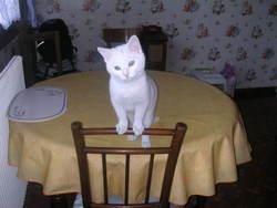Flocon, chat Européen