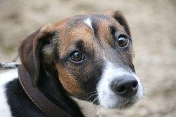 Zazou , chien Jack Russell Terrier