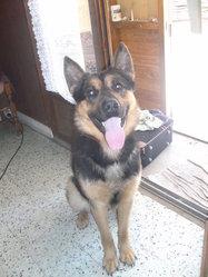 Diabolo, chien Berger allemand