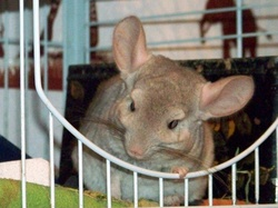 Jonas, rongeur Chinchilla