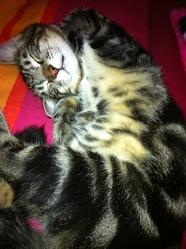 Mistigris Dit Mimi, chat Européen