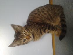Mon Cheri, chat Européen