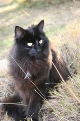 Vajda, chat Norvégien